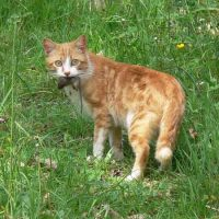 ginger-cat-with-mouse