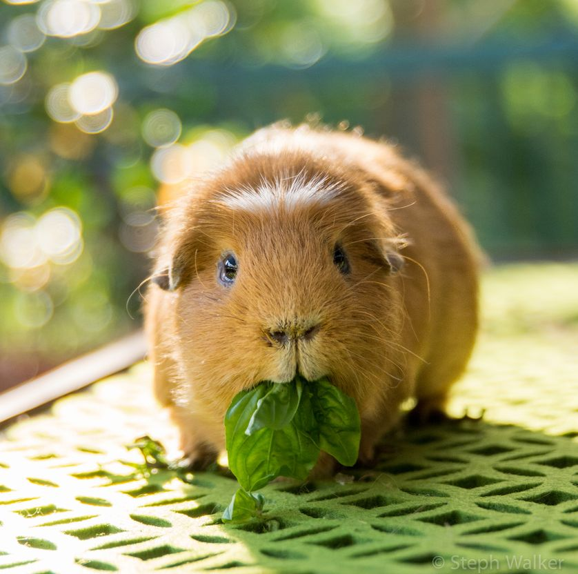 the pet guinea pig 12 things you might want to know vital