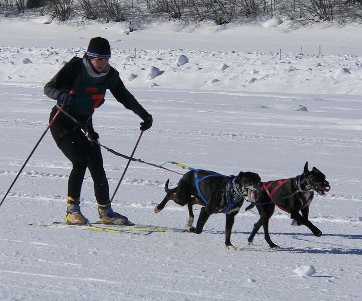 dog sports skijor_worlds