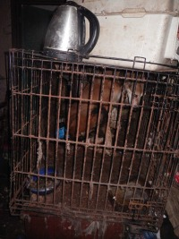 Jack the Saluki kept in cage
