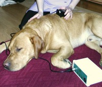 Labrador being treated with electrotherapy