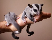 Sugar Glider sitting on hand