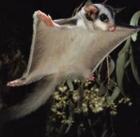 Sugar Glider in the wild