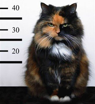 a cat criminal in a lineup for his mugshot