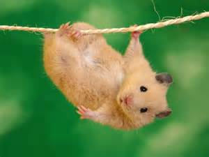 10 facts you may not know about hamsters