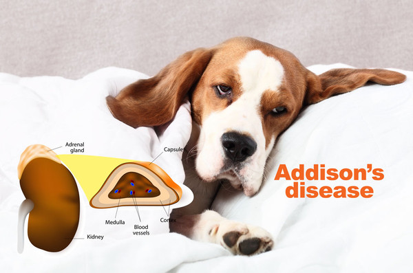 addisons in dogs
