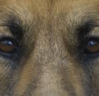 dogs eyes