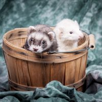 Two small ferrets in a basket together for a cute portrait.